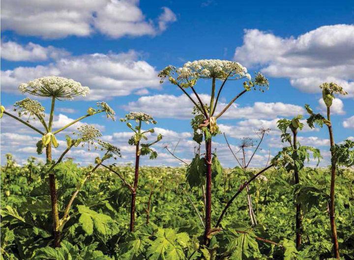 Высота растения