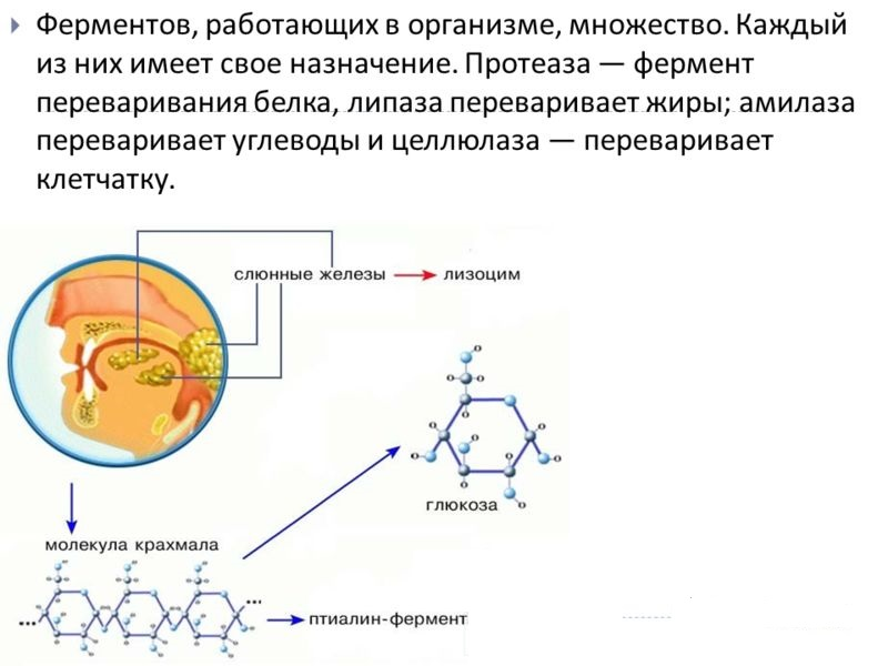 Ферменты в организме