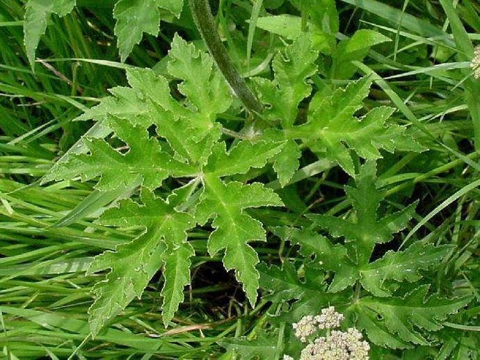 Мохнатый тип растения
