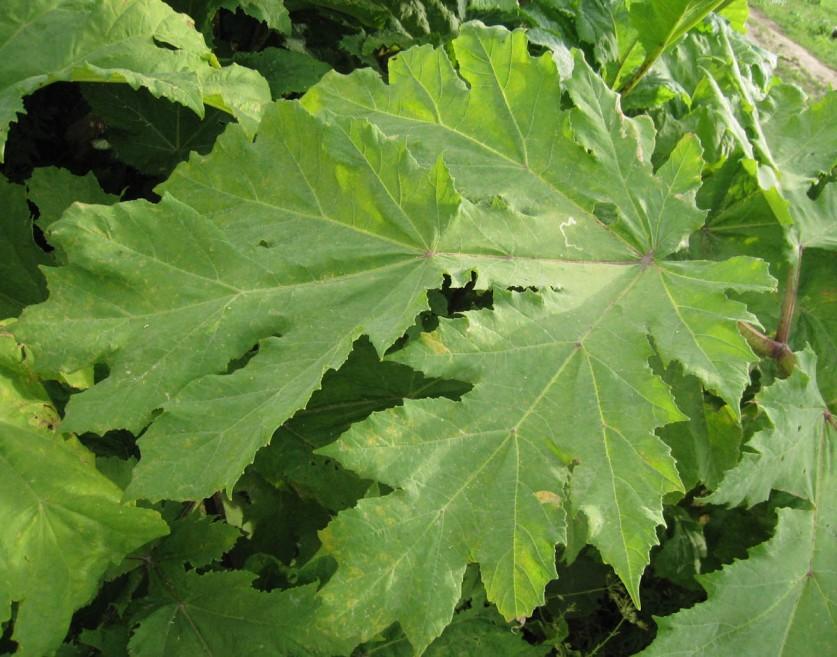 Крупные листья