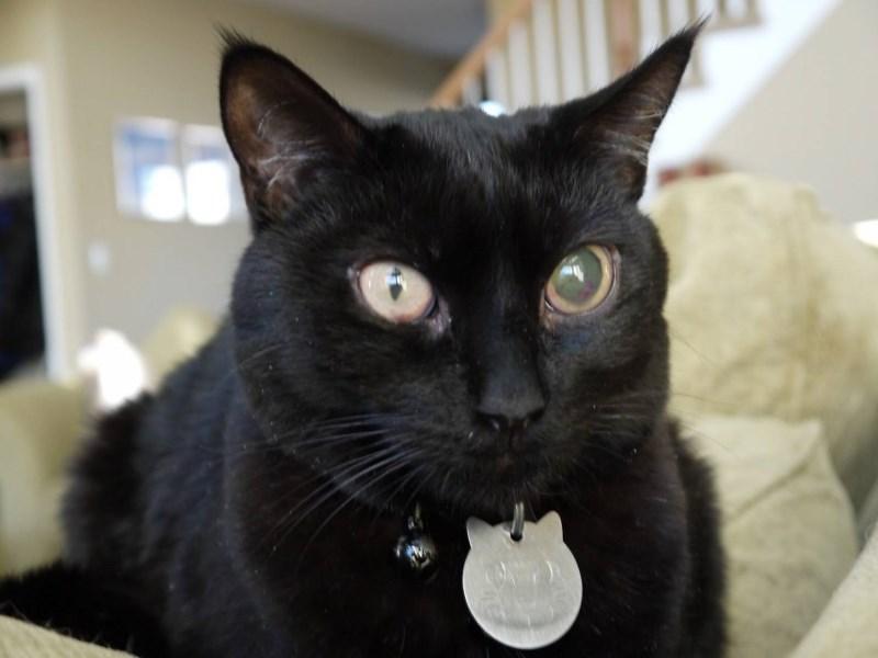 Пример того, как выглядит глаукома у кошки