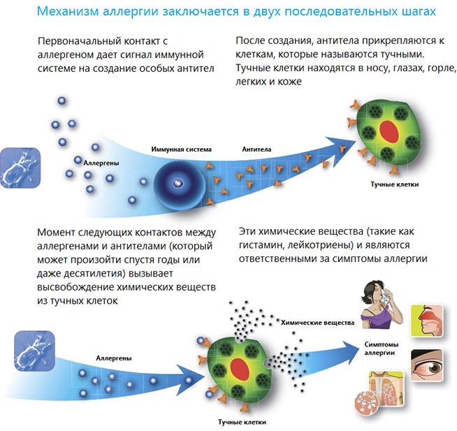 Механизм аллергической реакции