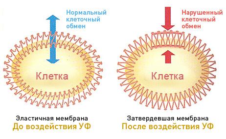 Действие на клетку УФ-лучей