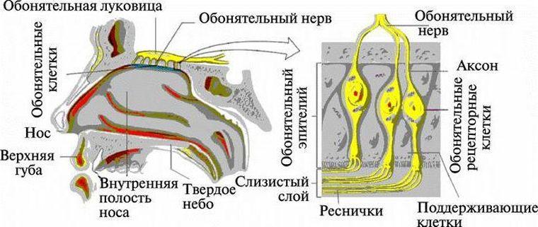 схема обоняния