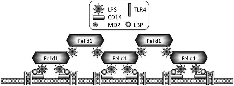 Fel d1 белок