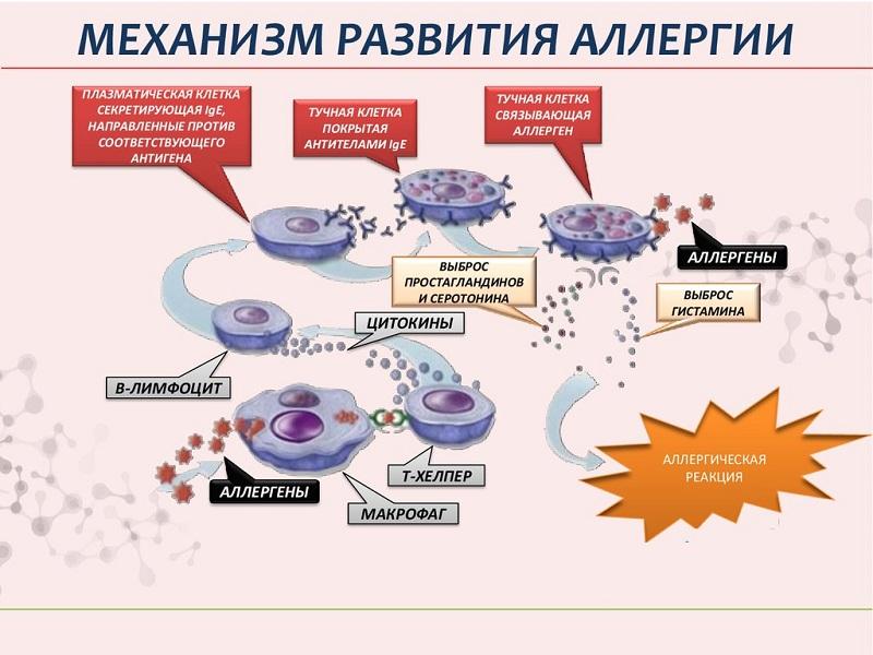 Механизм аллергических высыпаний