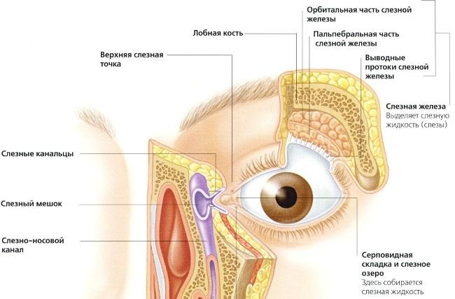 Строение глазницы