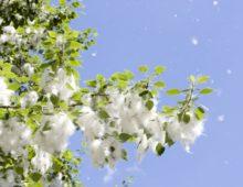 Тополь и его цветки