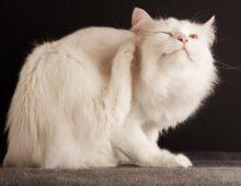 Зуд у кошки