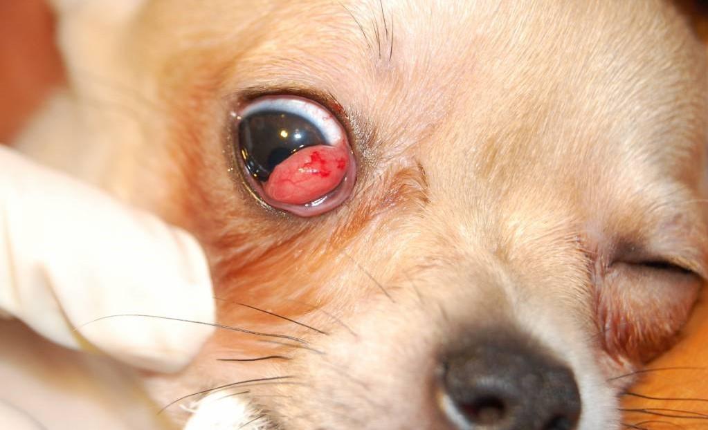 Конъюктивит у собаки